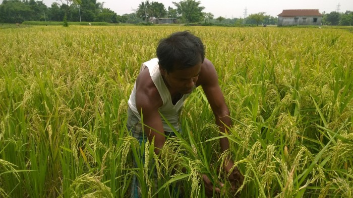 Picture 6 Farmer checks pests in kharif paddy at Dhaloguri